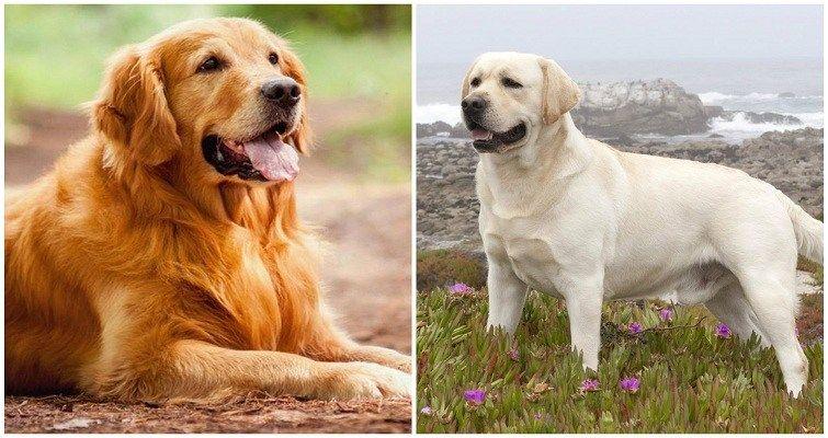 Golden Retriever Vs Labrador Which Is Best One Golden Retriever Dog Breed Inform Golden Retriever Golden Retriever Vs Labrador Labrador Retriever