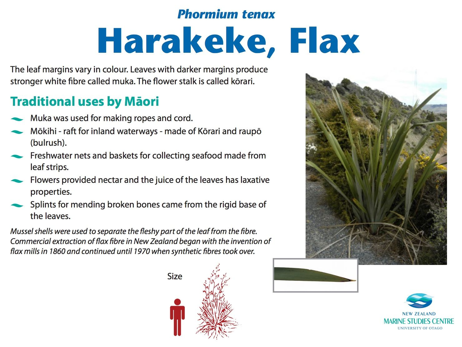 Phormium Tenax Harakeke Flax Nz Marine Studies Download The Leaf Margins Vary In Colour Leaves With Darker Mar Secondary Science Flowers Science Resources