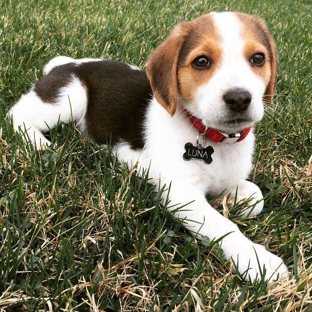 Cute Picture Of The Beagle Puppy Named Luna Luna Puppy Beagle