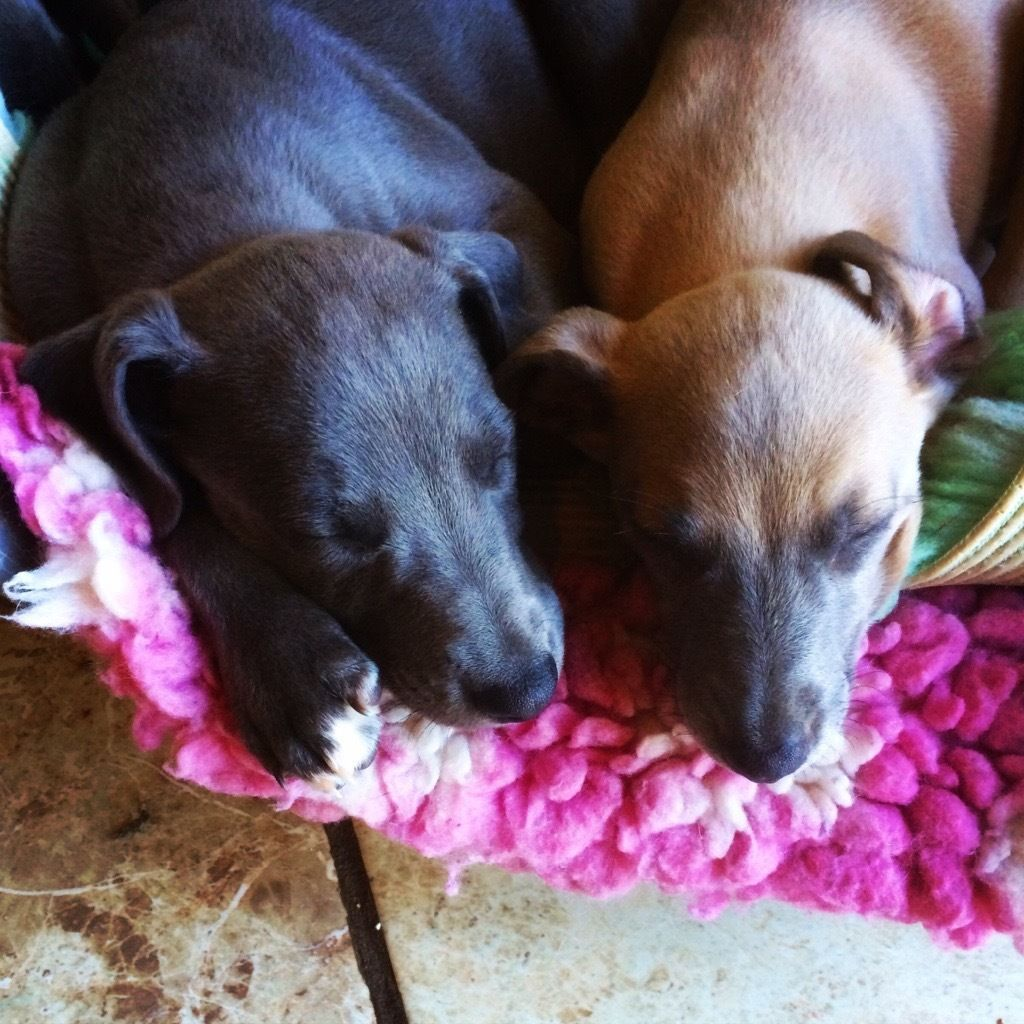 KC Registered Blue Whippet Puppies Blue whippet