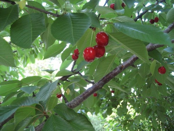 what is the best cherry tree to buy