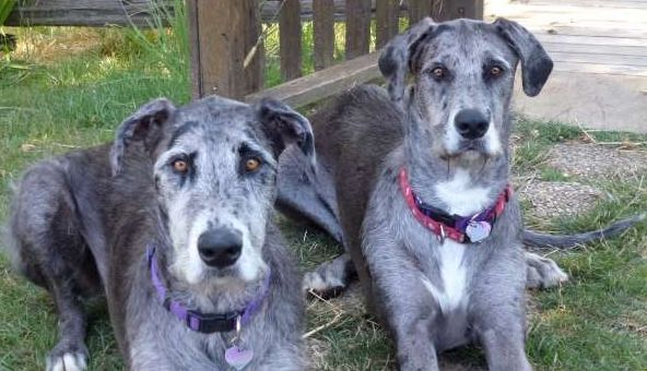 10 Of The Most Interesting Great Dane Mixes Dog Breeds Dog