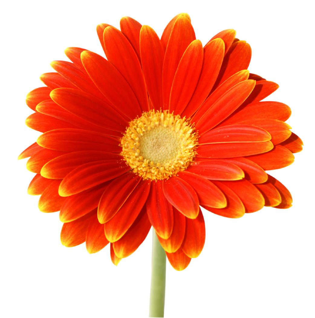 What is the meaning and history of orange roses orange roses what is the meaning and history of orange roses izmirmasajfo