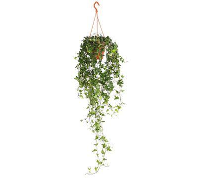 Efeu Ampel Pflanzen Zimmerpflanzen Pflanzen Pflege