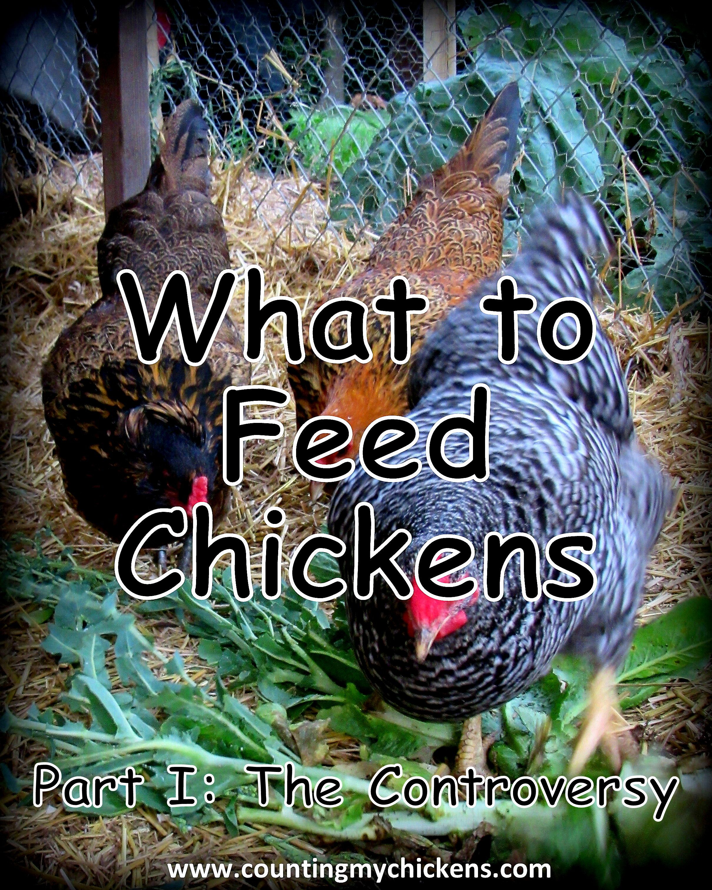 who knew that what to feed chickens could be such a button