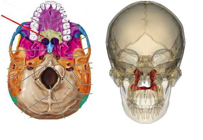 Palatine 2 Bones In Roof Of The Mouth Part Of Floor And Walls Of Nasal Cavity Part Of Floor Orbit With Maxillae Make Skull And Bones Bones Nasal Cavity