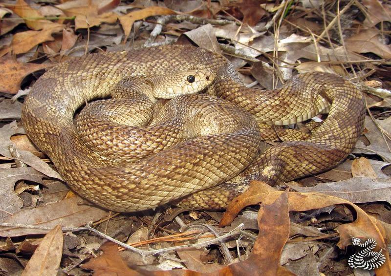 Pine snake care sheet ! | Pine Snakes | Pine snake, Snake, Reptile