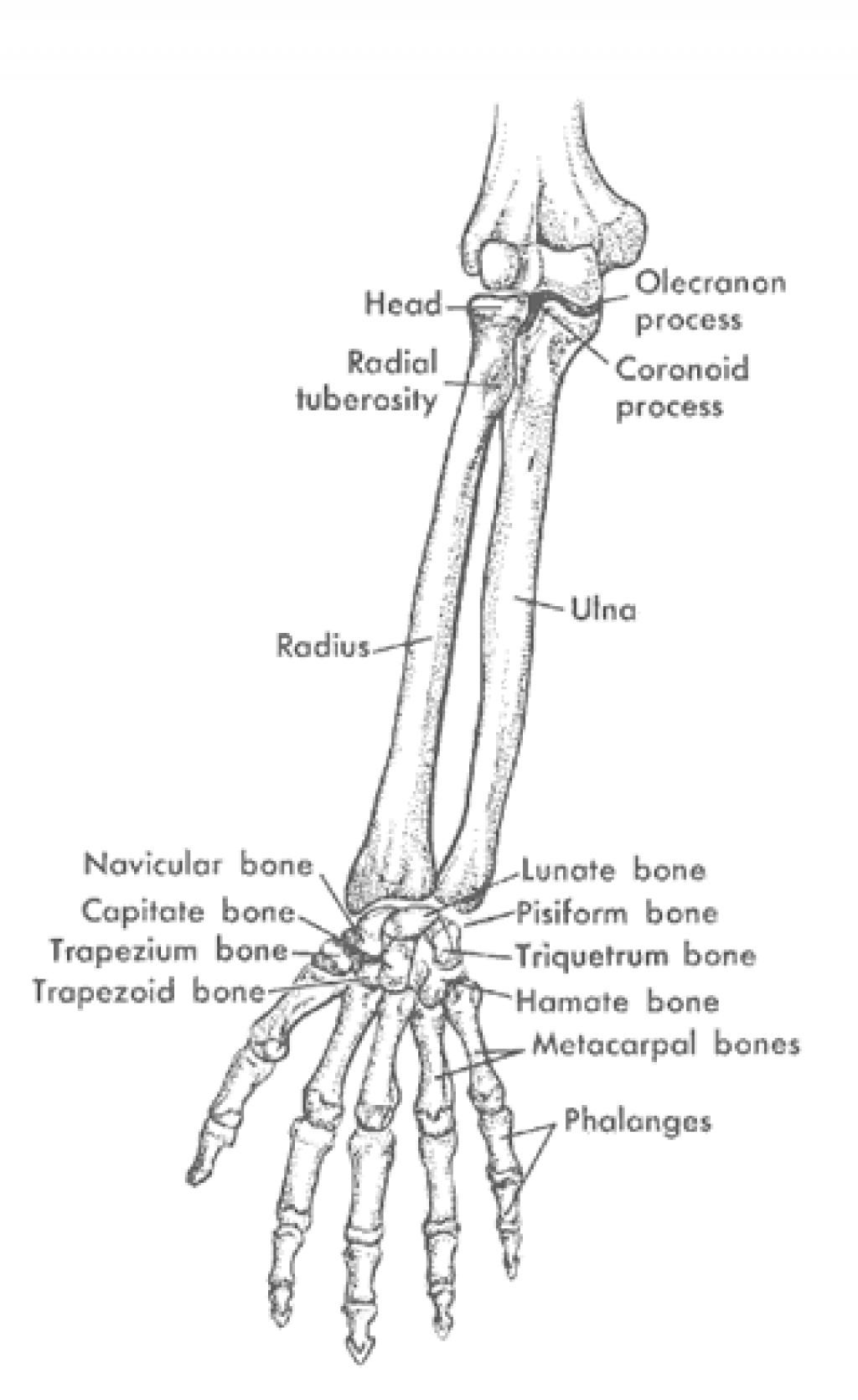 Bones Of Arm Buscar Con Google Bones Pinterest