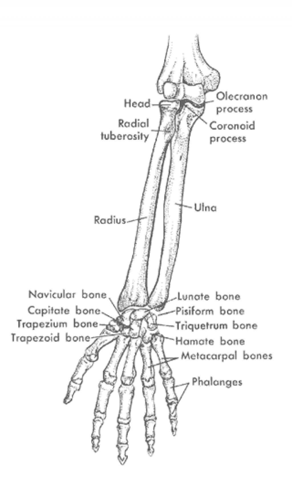Bones Of Arm