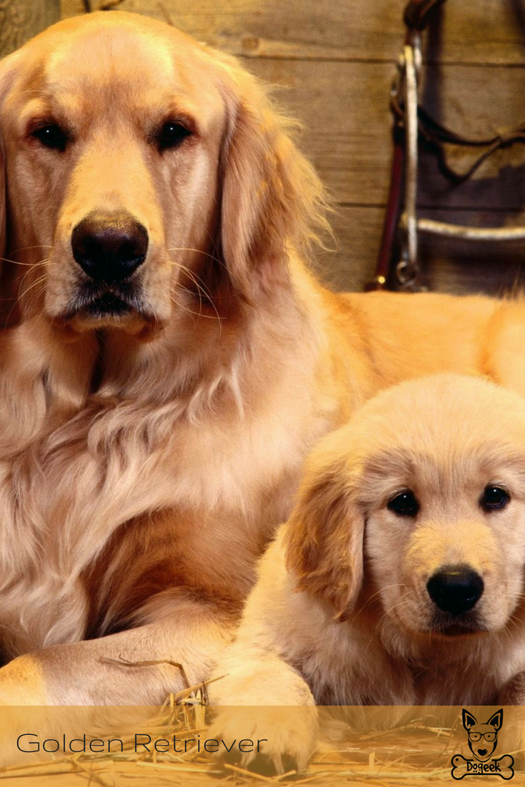 Golden Retriever Dog Breeds Raças De Cachorro Puppies Dogs