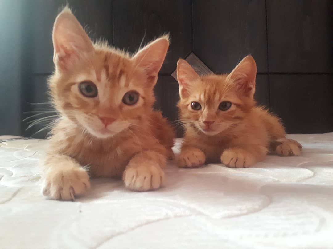 Twins Cat Ps Cat Delight Instacat Meows Excellent Cats Siberian Cat Lovers Meowsandwoofs Pawsies Club K Sevimli Kediler Cute Kittens Hayvanlar