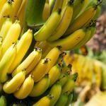 Bananas: benefícios e dicas para adiantar ou retardar o amadurecimento #schnellwachsendepflanzen Bananas: benefícios e dicas para adiantar ou retardar o amadurecimento #schnellwachsendepflanzen Bananas: benefícios e dicas para adiantar ou retardar o amadurecimento #schnellwachsendepflanzen Bananas: benefícios e dicas para adiantar ou retardar o amadurecimento #schnellwachsendepflanzen Bananas: benefícios e dicas para adiantar ou retardar o amadurecimento #schnellwachsendepflanzen Bananas: b #schnellwachsendepflanzen