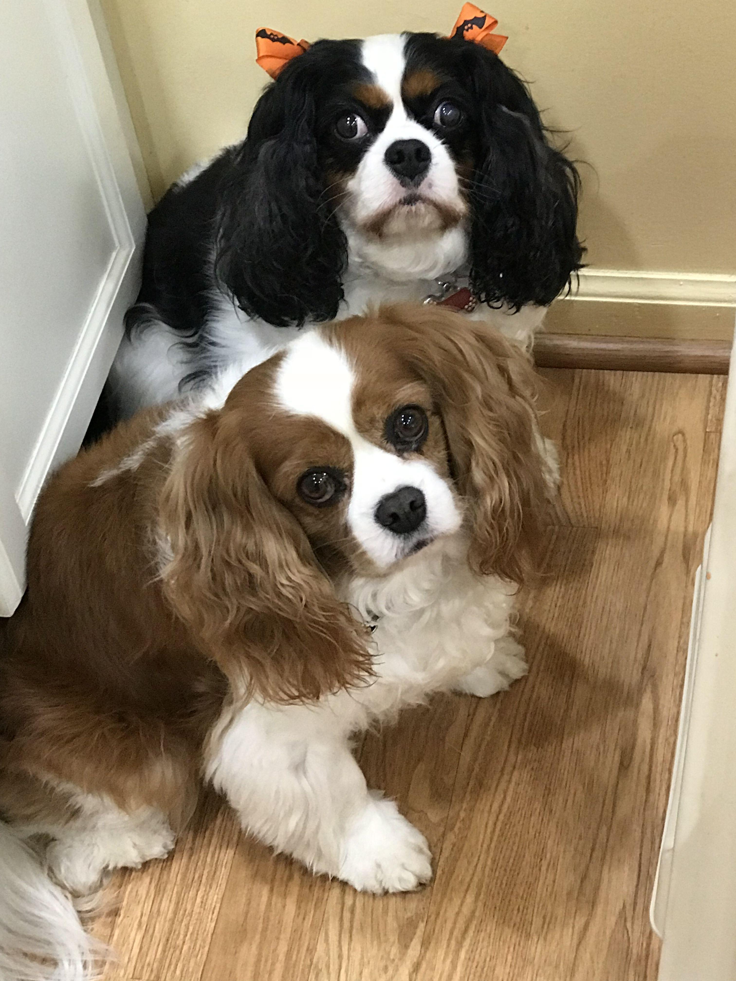Those Sweet Puppy Dog Eyes Cavalier King Charles Dog King Charles Dog Puppy Dog Eyes