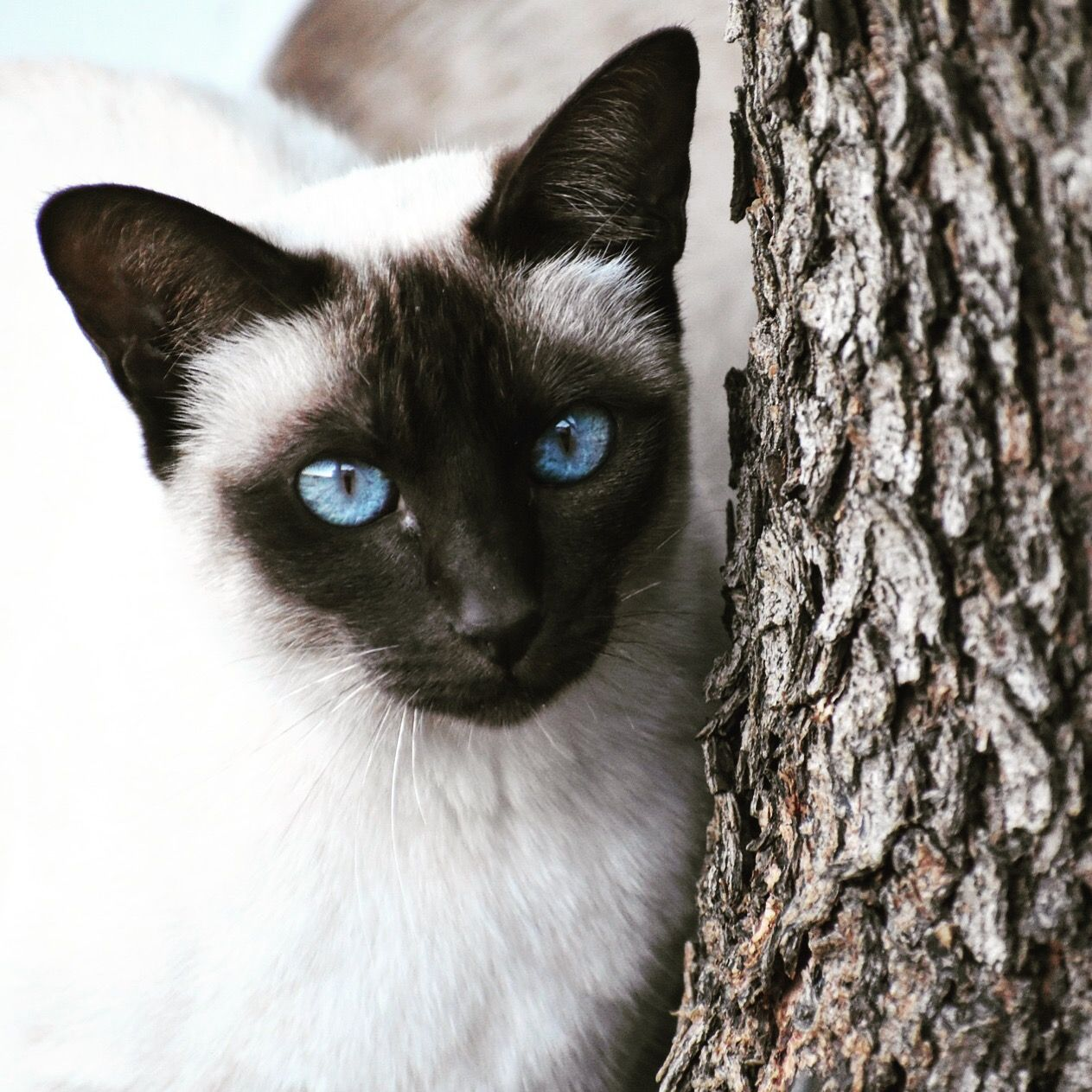 Black and white Siamese cute cat with blue eyes   Cat with ...  White Cat With Dark Blue Eyes