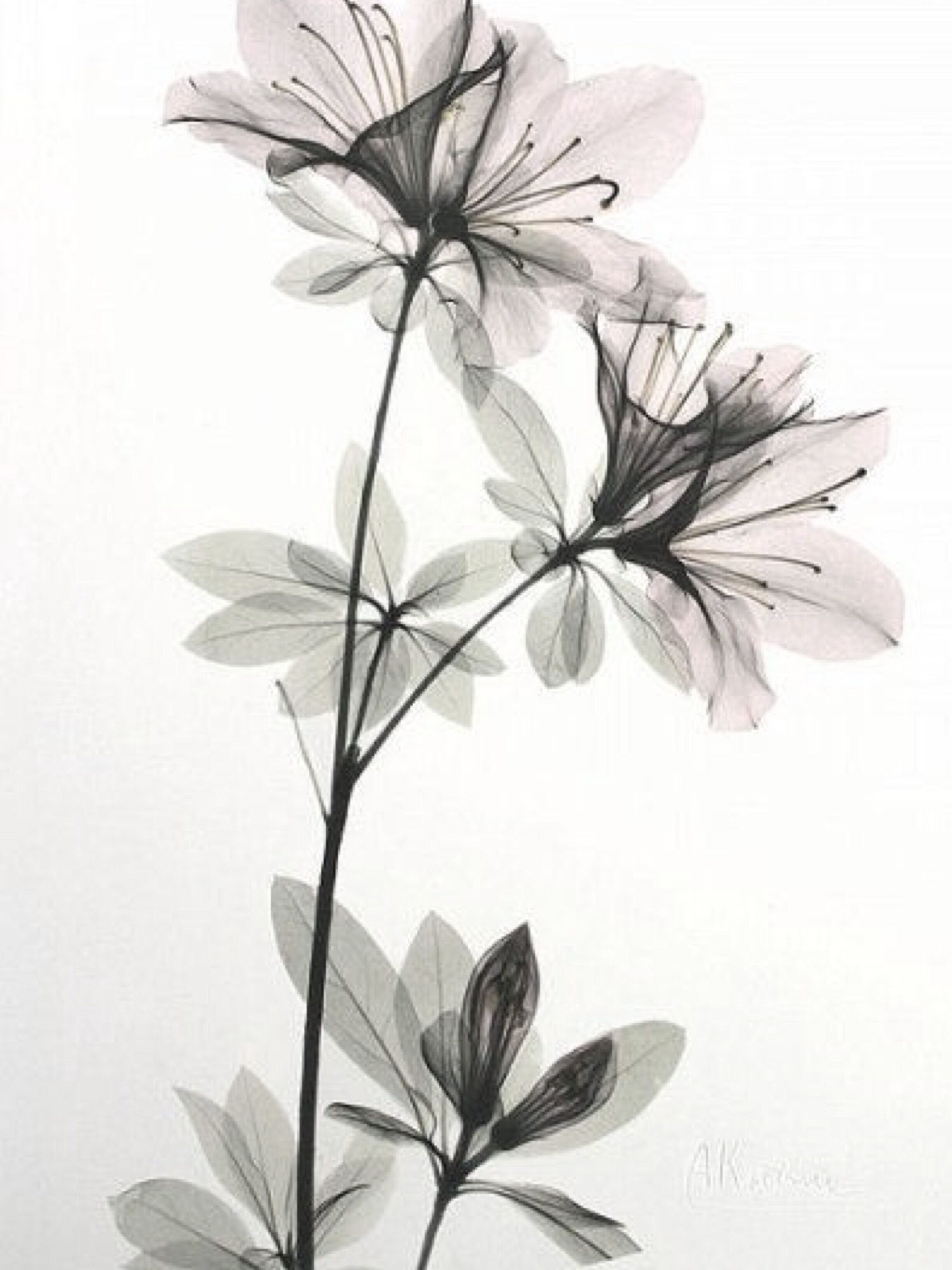 Xray Flower Prints Pin By Maria Briel On P E R S O N A L L I K E S Art