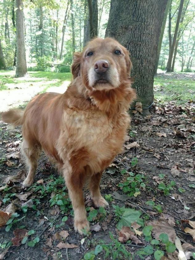 Adopt Ginger Green On Golden Retriever Rescue Dogs Golden
