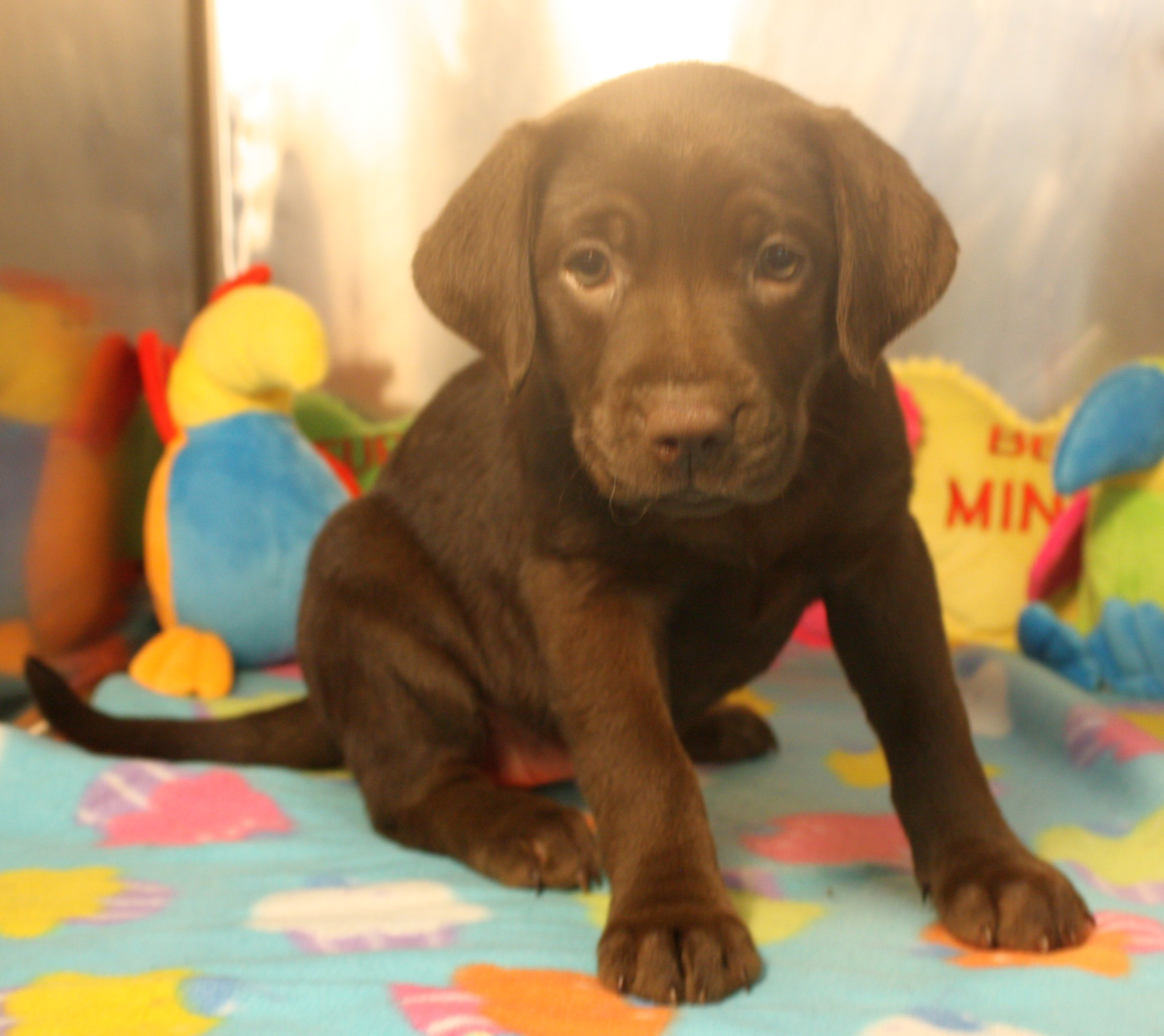 Available for adoption. 7 week old Lab mix named Tiana. www.jfcountypets.com