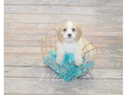 Puppies For Sale In Michigan Petland Novi Has Everything You Need
