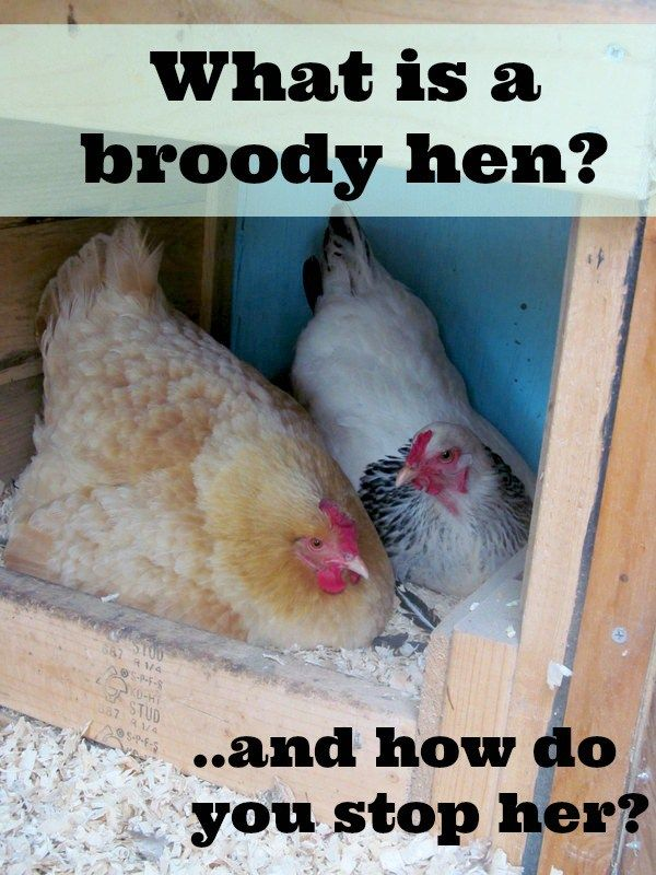 how to help a broody hen