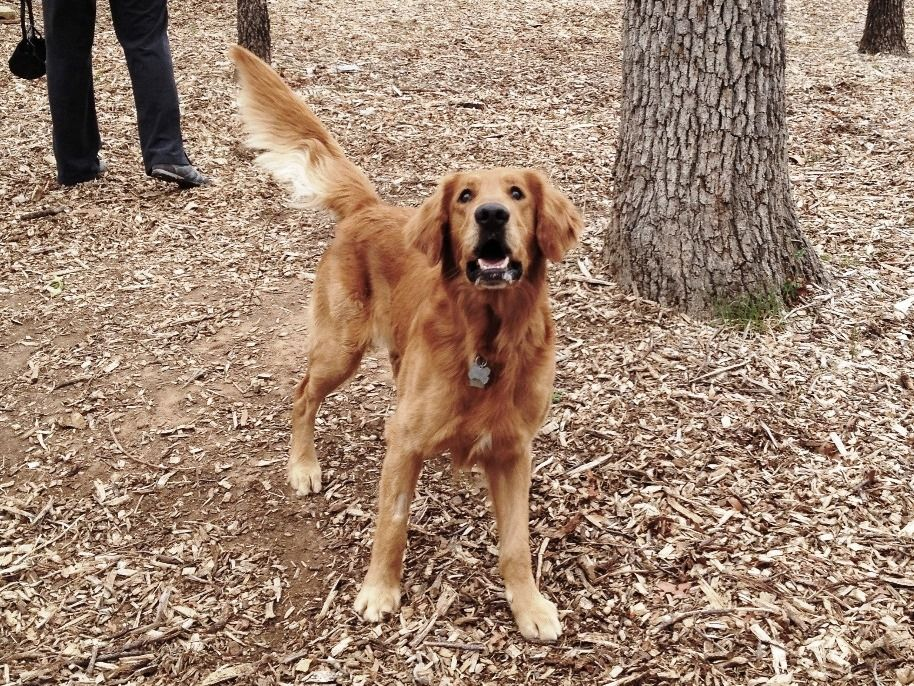 Tommy Is A Beautiful Large 6 Year Old Dark Golden Http Www