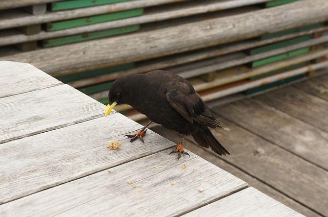 bergdohle, bird, spring, raven, black, alpine, nature