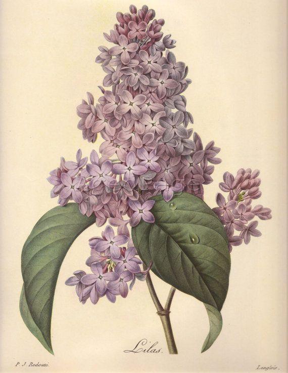 Lilac By Pierre Joseph Redoute Vintage Botanical Prints Botanical Painting Botanical Illustration Vintage