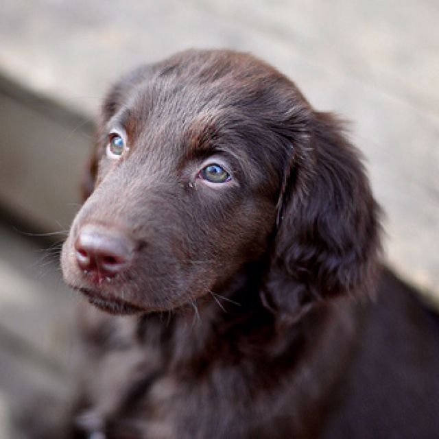 Flat coated retriever puppy. Friendly, intelligent, eager to please and incredibly loyal