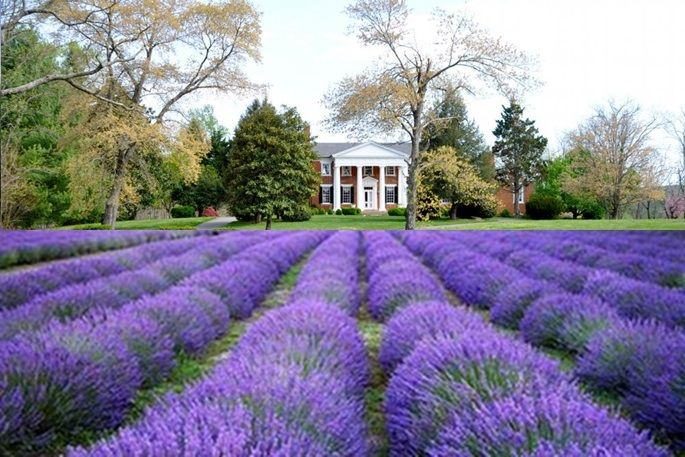 Inglewood Lavender Farm | Places and Spaces
