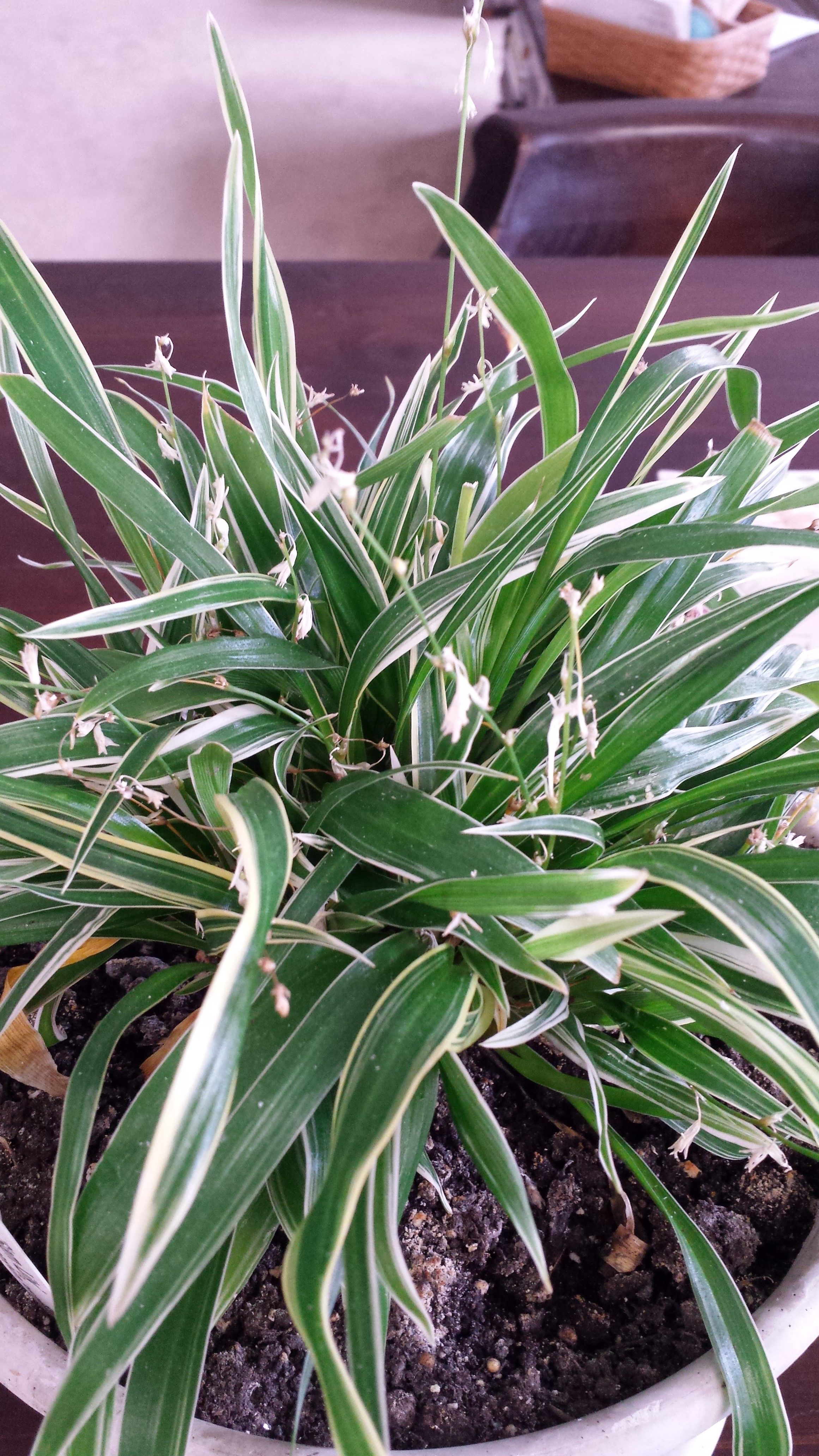 chlorophytum laxum u0027bichetii u0027 also called