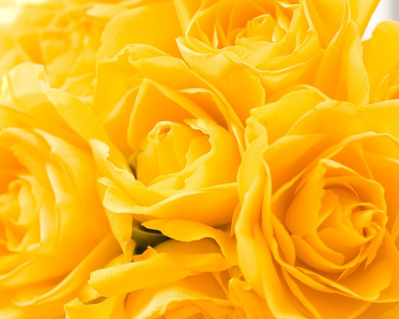 Yellow roses flower yellow roses beauty flowers rose roses yellow roses flower yellow roses beauty flowers rose roses yellow izmirmasajfo
