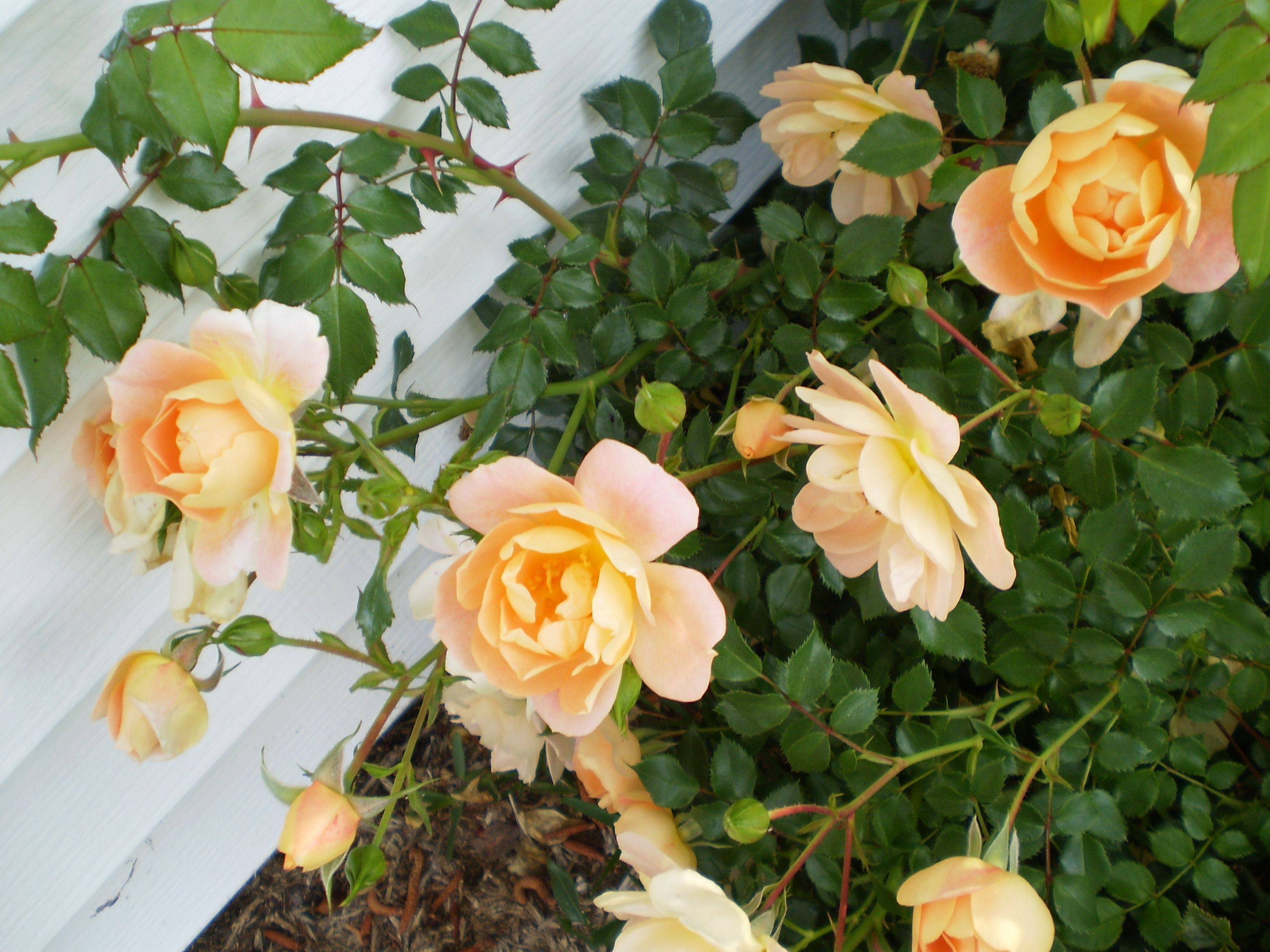 My backyard roses, great smell and beautiful colors