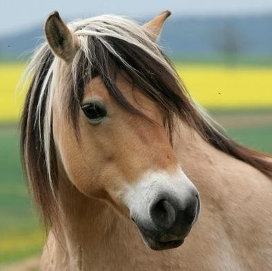 Image result for norwegian fjord horse