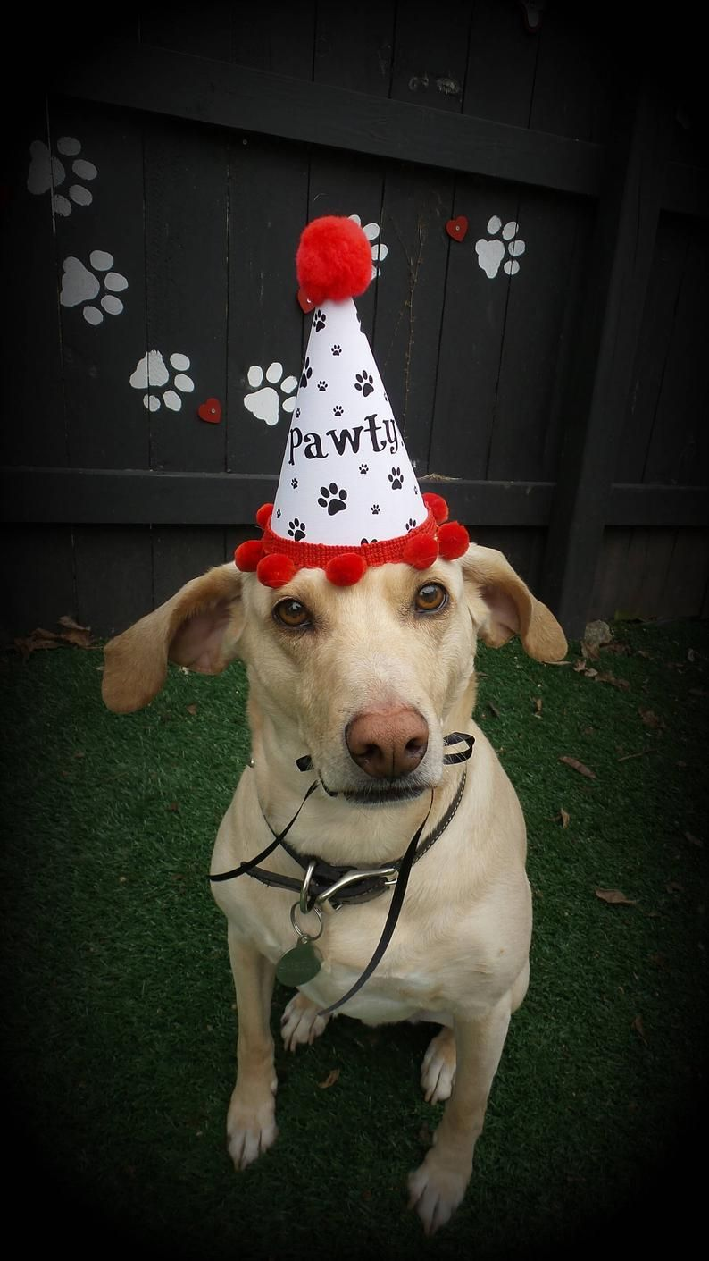 Dog Birthday Hat Puppy Party Dog Party Hat Gotcha Day Dog