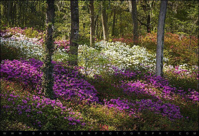 Charleston SC Azalea Flowers and Sunlight Fairytale