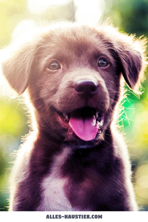 Labrador Retriever Welpe Hunde Fur Anfanger Die Top 13