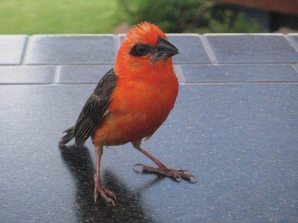 He follows me everywhere Mauritius cardinal bird