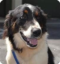 Bernese Mountain Dog Border Collie Mix Bing Images Aussie Dogs Border Collie Dog Bernese Mountain Dog