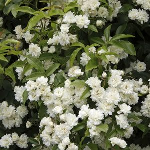 Rosa banksiae 'alba' White Banksia rose is a rampant evergreen climber with white double flowers. It is ideal for covering a fence or bare wall. They are largely disease resistant, very hardy and have almost thornless stems. Prefers a full sun to part shad...