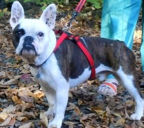 Adopt Winston On French Bulldog Mix French Bulldog Pug Mix