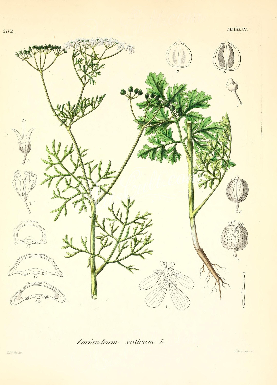 coriandrum sativum      ...