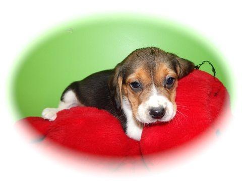 Beagle Puppy For Sale In Hammond In Adn 23409 On Puppyfinder Com