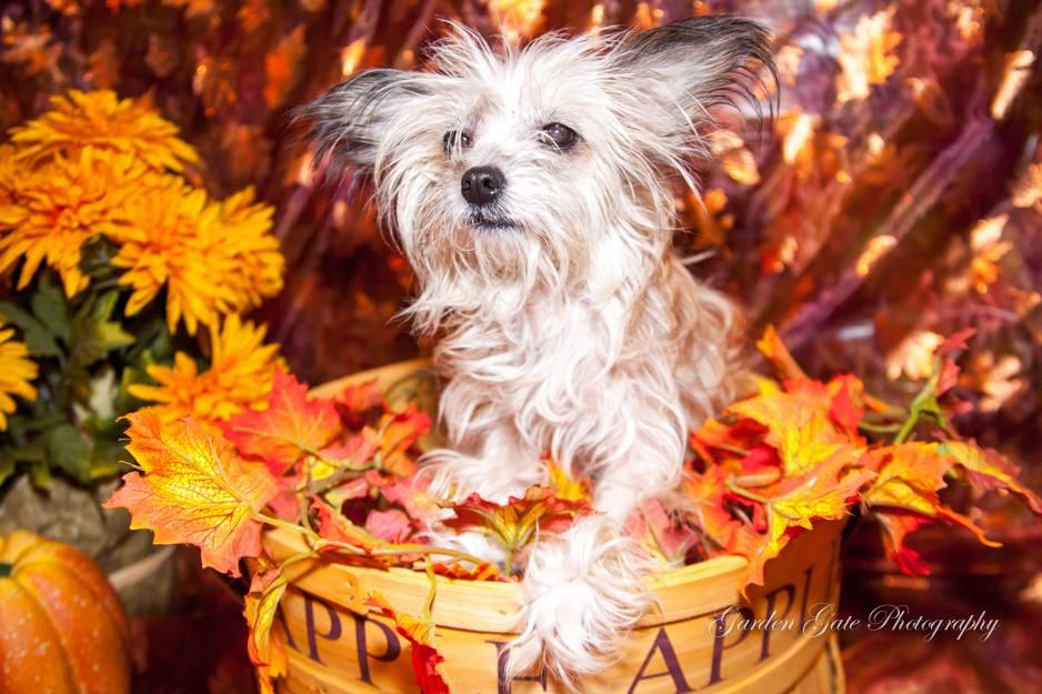 Meet Kya, an adoptable Chinese Crested Dog looking for a forever home. If you're looking for a new pet to adopt or want information on how to get involved with adoptable pets, Petfinder.com is a great resource.