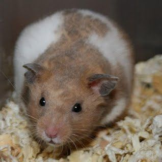 Gallery Of Hamster Colors Dixie Dust Hamsters Syrian Hamster