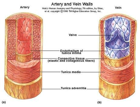 85873eadb91a8e9c3eaa313fd5187170 - How Does Blood Get From An Artery To A Vein