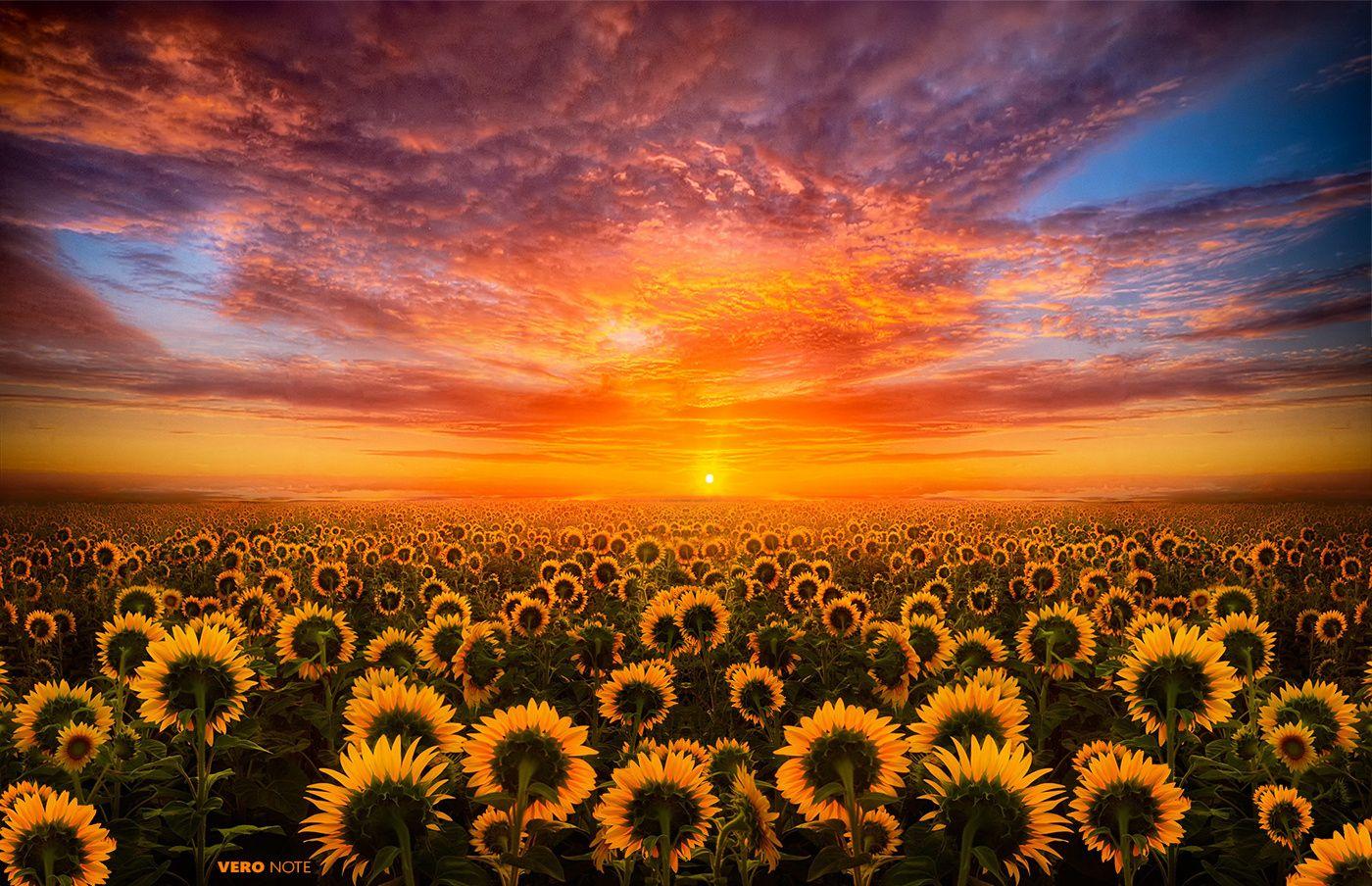 Sun Flowers Light Flower Desktop Wallpaper Sunflower Sunset Sunflower Wallpaper