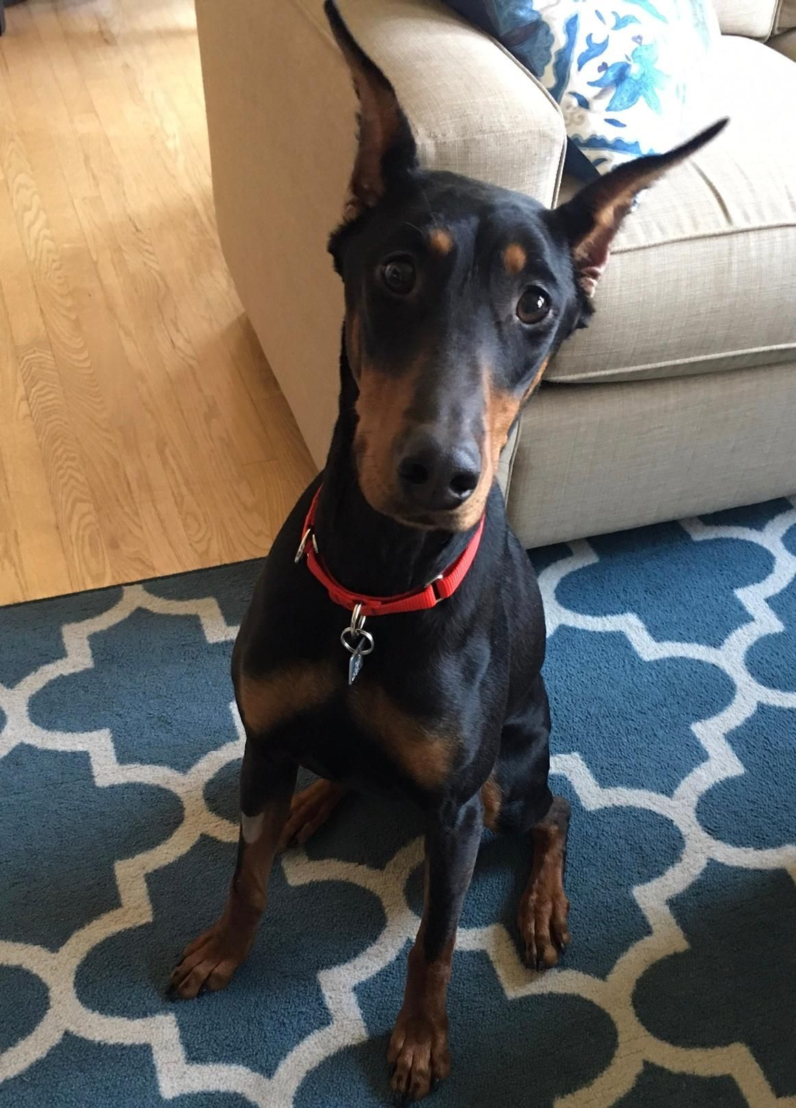Adopt Ada On Doberman Pinscher Dog Doberman Pinscher Doberman
