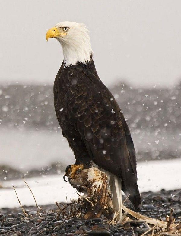 American Eagle, Animals desktop wallpapers, Download
