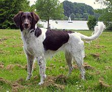 Small Munsterlander - Kleiner Munsterlander - Germany - Hunting-pointing-retrieving dog breed
