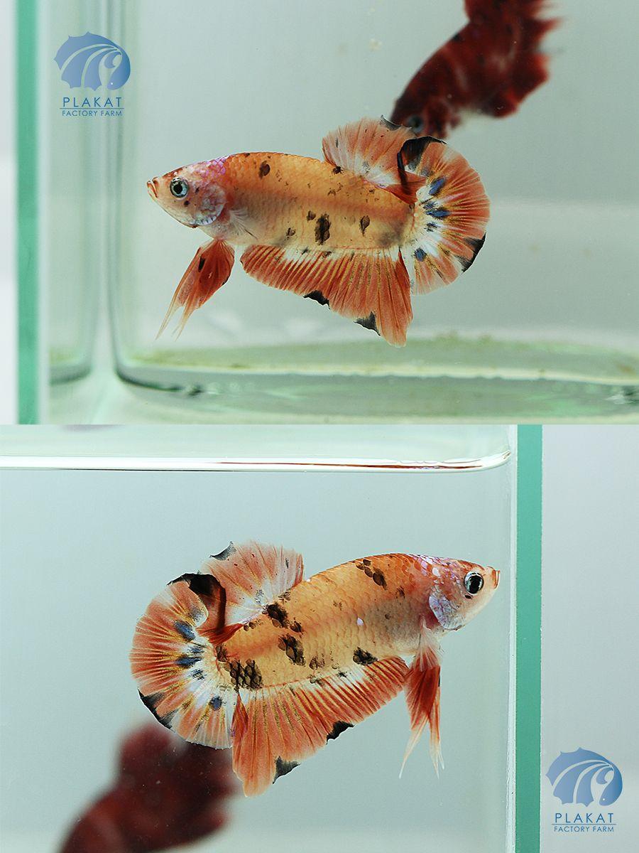 Fwbettashmp1441210803 black orange koi hmpk male for Male koi fish