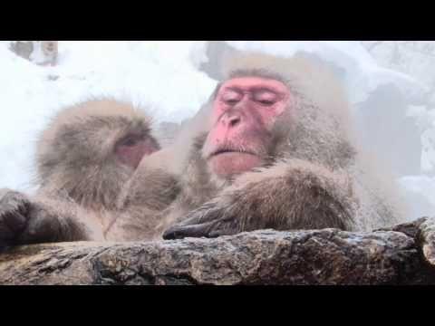 地獄谷野猿公苑は世界で唯一、  温泉に入るサルが見られる極めてユニークな場所です。    そして、ニホンザルの生態を間近で観察できる場所として  観光客だけではなく、多くの研究者や写真家たちが、  世界中から訪れています。